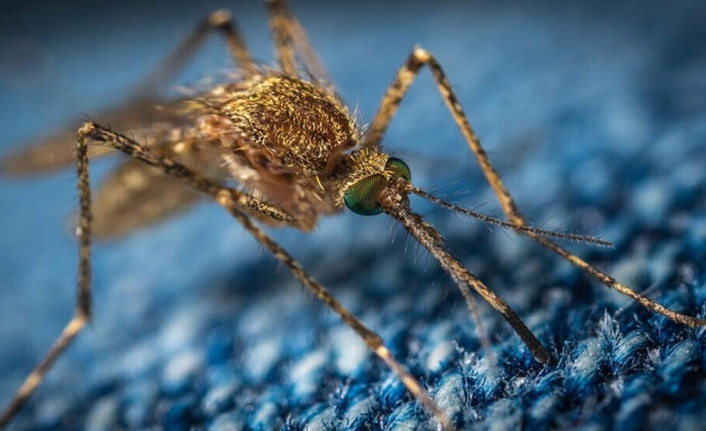 ABD'de yapılan araştırma Covid-19'un sivrisinekler yoluyla bulaşamayacağını doğruladı