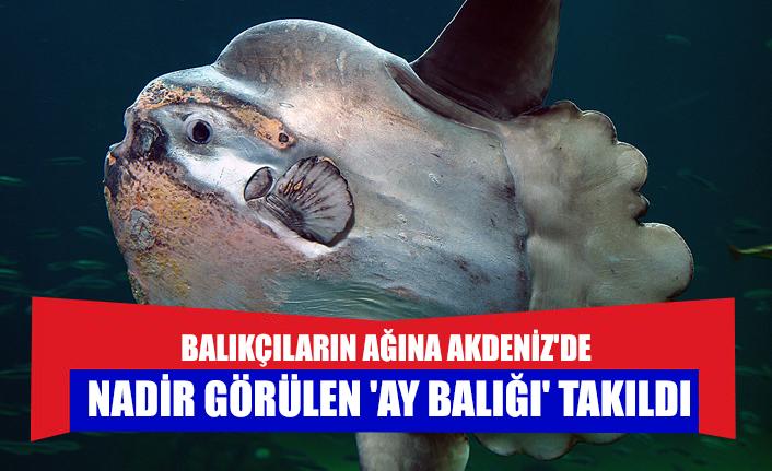 Balıkçıların ağına Akdeniz'de nadir görülen 'ay balığı' takıldı