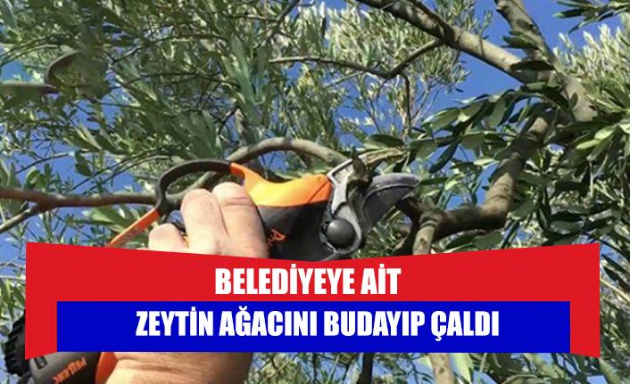 Belediyeye ait zeytin ağacını budayıp çaldı