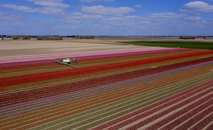 """Hollanda'da göz kamaştıran lale bahçeleri bu yıl """"sessiz"""" bir şekilde çiçek açtı"""