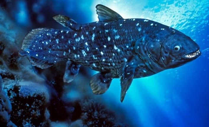 Yeni keşif: 'Yaşayan fosil' balık 100 yıl yaşıyor, hamileliği 5 yıl sürüyor
