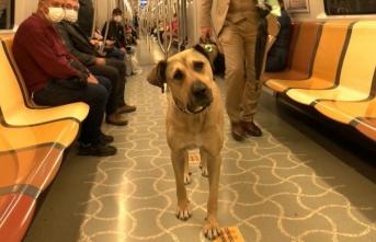 İstanbul'un Ünlü Köpeği Boji, ABD'de De Meşhur Oldu