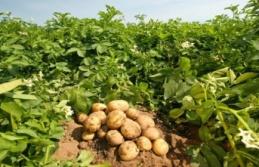 Türkiye'de patates ve soğan ihracatı için ön izin şartı kalktı