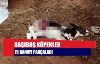 Başıboş Köpekler 15 Danayı Parçaladı