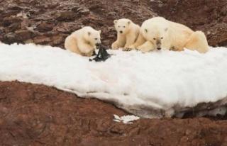 İklim krizi, ayıların türlerinde çeşitliliğe...