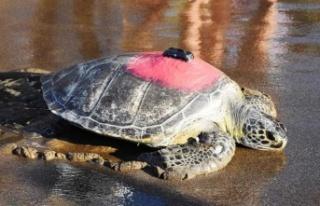 Uydudan izlenen yeşil deniz kaplumbağası 'Talay'...