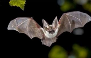 İngiltere'deki yarasalarda yeni bir koronavirüs...