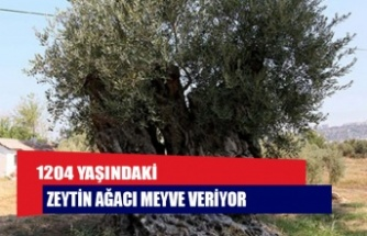 1204 yaşındaki zeytin ağacı meyve veriyor