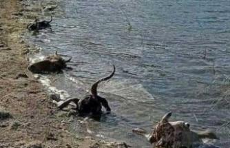 Kurban kelleleri baraja atıldı