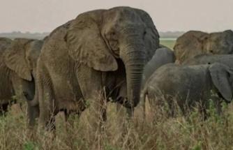 Mozambik'te filler insanlıktan korunmak için mutasyon geçirdi: Artık dişsiz doğuyorlar