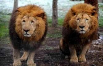 Öksürüp hapşırdığı görülen 11 aslanın koronavirüs testi pozitif çıktı